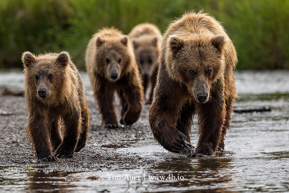 Before the arrival of Europeans, it is estimated that California had 10,000 grizzlies living alongside 130,000 Natives, making for an interesting bear-to-man ratio.//// A family of three coastal Alaskan Brown Bears takes a stroll down the beach towards the river in Katmai National Park.