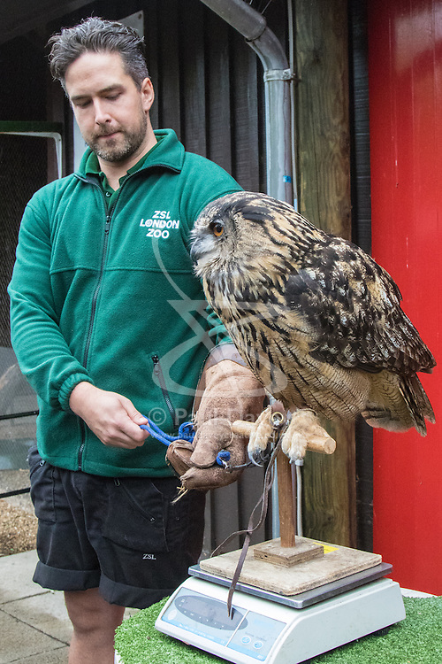 ZSL London, August 26th 2015. Zookeeper Grant Kother weighs 1.9kg Eagle Owl named Max as ZSL London holds its annual weigh-in of  animals.