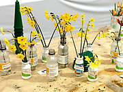 A selection of narcissi being prepared for showing at the Harrogate Spring Show, Harrogate, North Yorkshire, UK