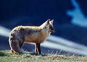 Red Fox, Vulpes fulva, in spring, Denali National Park, Alaska.