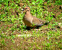 Mourning Dove. Image taken with a Fuji X-T3 camera and 200 mm f/2 lens + 1.4x teleconverter.