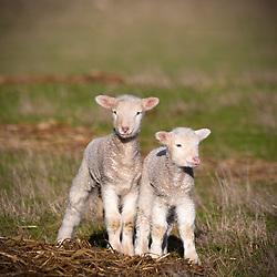 Newborn twin lambs in Tasmania's northern midlands.