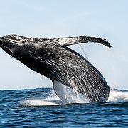Breaching humpback whale (Megaptera novaeangliae) near Hout Bay, South Africa