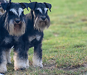 black and silver Miniature Schnauzer. A breed of  ratting dogs, originated in Germany in the mid-to-late 19th century. standing on lawn. Male (left) and female (right)