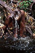 A juvenile orangutan (Pongo pygmaeus) drinking water from a riverbank using his hand, close-up, Borneo, Indonesia
