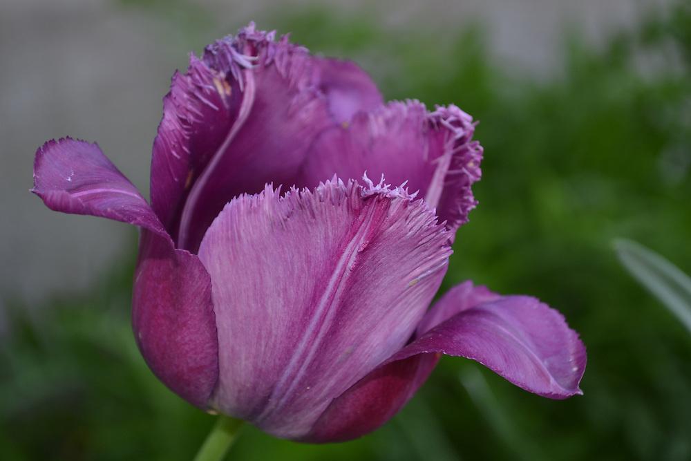 Purple Tulip Bloom