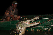 Black Caiman (Melanosuchus niger) Mark/re-capture Study & Ashley P Holland. MODEL RELEASE GYA#7<br /> Yupukari<br /> Rupununi<br /> GUYANA<br /> South America