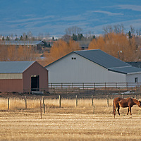 A horse grazes in pastures south of Bozeman, Montana