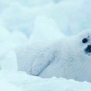 Harp Seal, (Pagophilus groenlandicus) White coat pup resting on ice. Spring. Nova Scotia. Canada.