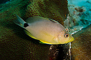 Butter Hamlet (Hypoplectrus unicolor)<br /> BONAIRE, Netherlands Antilles, Caribbean<br /> HABITAT & DISTRIBUTION: Bottom of reefs within territory<br /> Florida Keys, Bahamas & Caribbean.