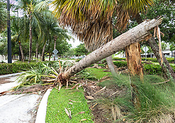 October 7, 2016 - Florida, U.S. - A palm tree snapped in the storm partially blocks a road in Phil Foster park in Riviera Beach Friday morning, October 7, 2016 after the passing of Hurricane Matthew. (Credit Image: © Lannis Waters/The Palm Beach Post via ZUMA Wire)