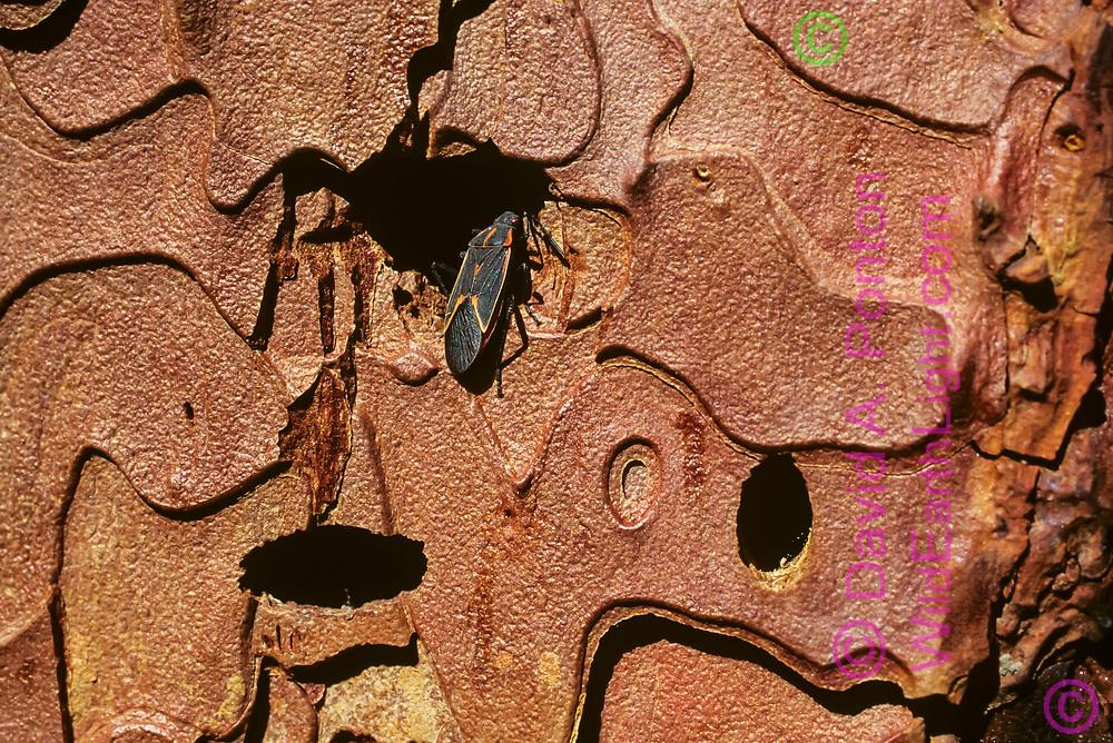 Boxelder bug enters hole in bark of ponderosa pine tree seeking winter shelter, Jemez Mountains, New Mexico, © David A. Ponton