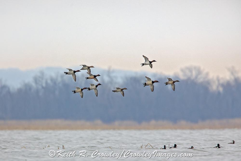 Canvasbacks in flight