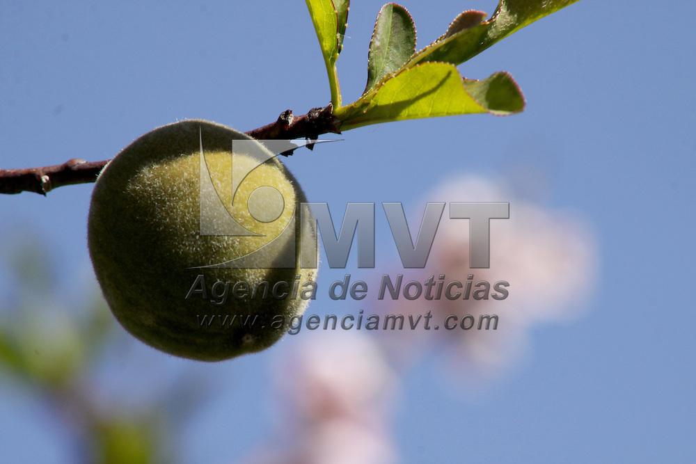 """COATEPEC HARINAS, Mex.- El municipio de Coatepec Harinas se ubica ya como uno de los principales productores de durazno del país, con lo que su sector agrícola se consolida, Fruticultores afirman que tan solo en una hectárea se llegan a obtener de 15 a 20 toneladas de durazno, pero depende del """"raleo"""" que se le dé al árbol; es decir, que en cada rama sólo debe de haber de 4 a 5 frutos para que alcancen un buen tamaño, ya que lo que se busca es calidad y no cantidad. Agencia MVT / Crisanta Espinosa. (DIGITAL)<br /> <br /> NO ARCHIVAR - NO ARCHIVE"""