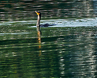 Double-crested Cormorant (Phalacrocorax auritus). Fort De Soto Park. Pinellas County, Florida. Image taken with a Nikon D3x camera and 600 mm f/4 VR lens.