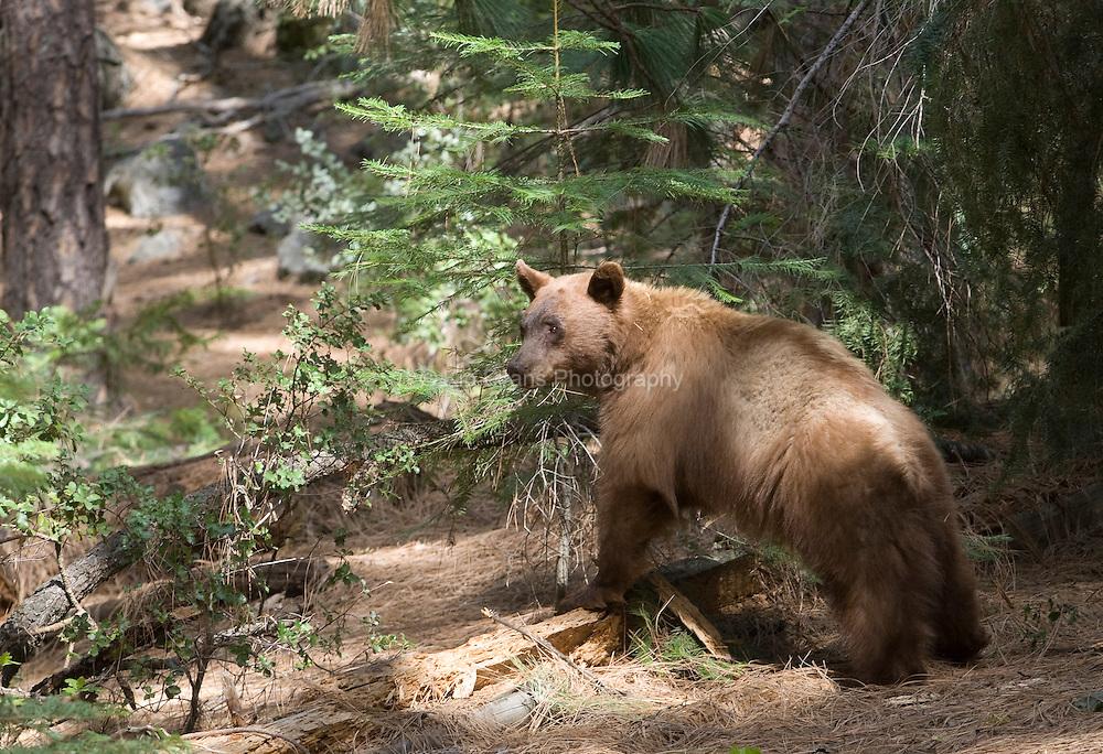 Black Bear - Oak woodland
