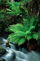 Australia, Tasmania. Tree fern, also known as man fern (Dicksonia antarctica) and waterfall.