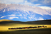 Cattle Drive along the Rocky Mountain Front, Montana.
