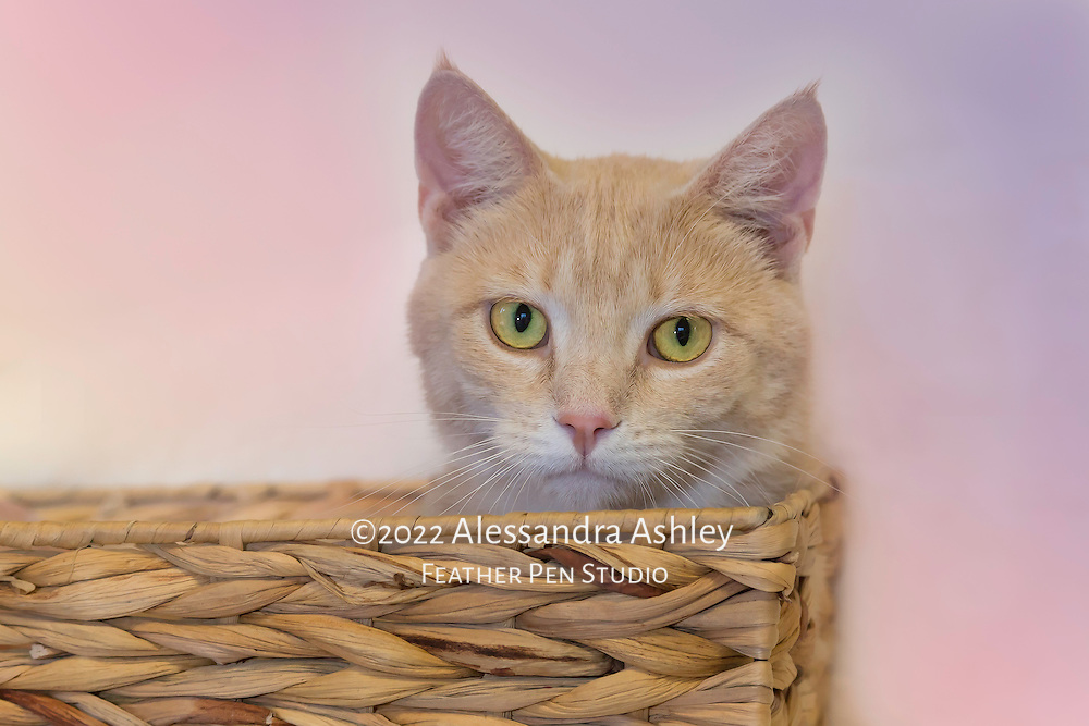 Apricot-colored cat in woven basket.