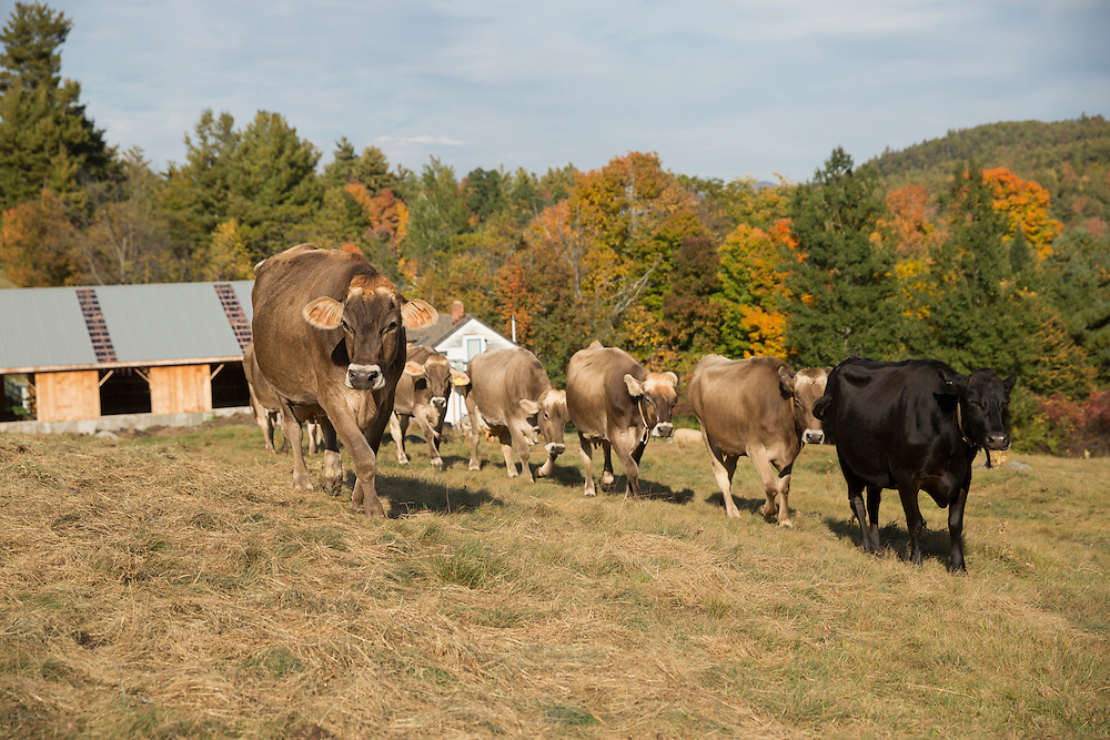 Brown Swiss cows walking out into the field
