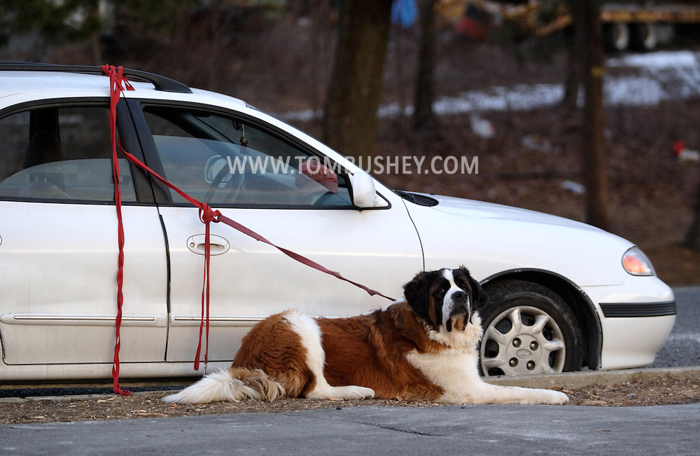 Monroe, N.Y. - A large dog sits by his owner's car near the path around the Mill Pond on Feb. 11, 2007.