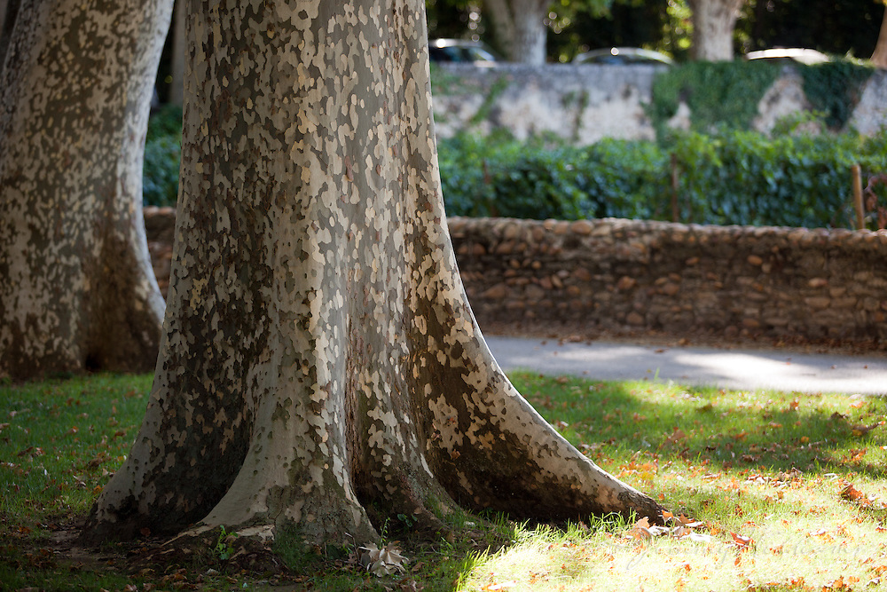 An old tree on the grounds of Château La Nerthe, France