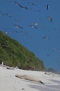 Laysan albatrosses, Phoebastria immutabilis, fill the sky above a sleeping juvenile Hawaiian monk seal, Monachus schauinslandi, Critically Endangered endemic species, Sand Island, Midway, Atoll, Midway Atoll National Wildlife Refuge, Papahanaumokuakea Marine National Monument, Northwest Hawaiian Islands ( Central North Pacific Ocean )