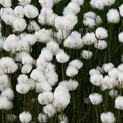Cotton grass growing along the edges of the city of Qeqertarsuaq, Greenland.