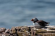 Puffin, Farne Isles, Northumbria