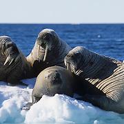 Walrus (Odobenus rosmarus) group on an ice chunk off of Baffin Island. Canada