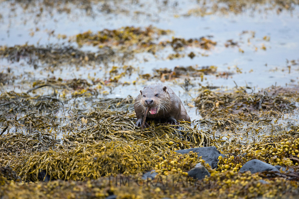 Sea Otter, Lutra lutra, carnivorous semi-aquatic mammal, feeding on eel in natural habitat at side of loch on Isle of Mull in the Inner Hebrides and Western Isles, West Coast of Scotland