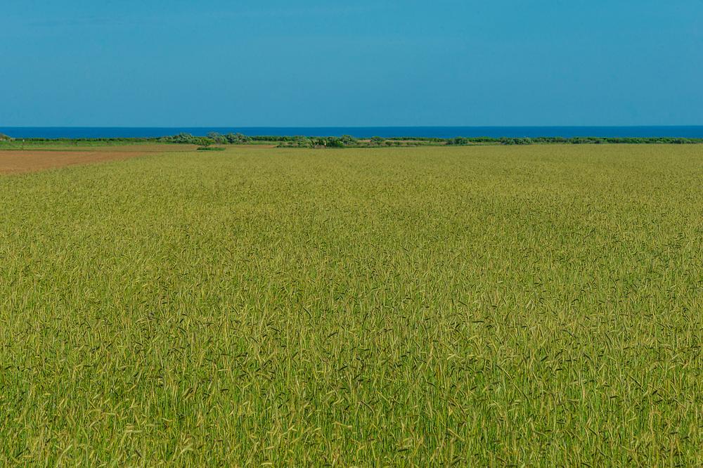 Wheat Field, Sagaponack, NY