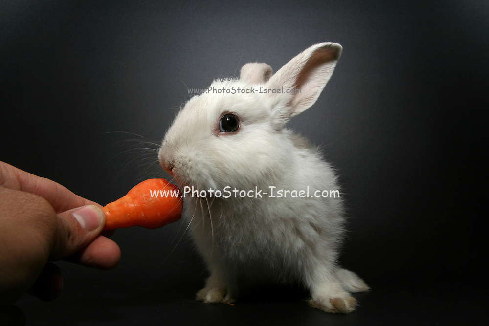 Cutout of a white rabbit being fed a carrot on black background