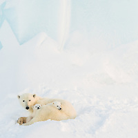 Mother polar bear with two three-month-old cubs resting in front of an iceberg on Baffin Island, Nunavut, Canada