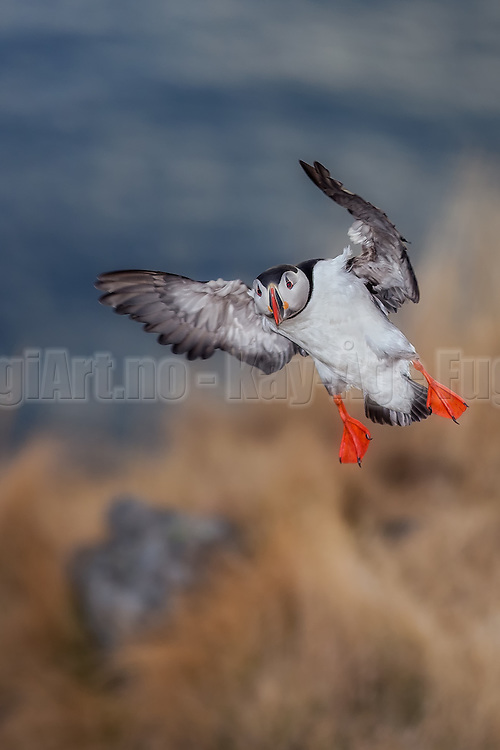 Puffin in for landing at Lundeura, Runde, Norway | Lundefugl inn for landing i Lundeura, Runde, Norge