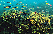 """Wrasse & Chromis reef fish near Coiba Island, Panama. The former penal colony is now  a """"permit only"""" area to visit and explore. In 2005 it became a UNESCO World Heritage Site due to its remarkable proliferance of rare corals and abundance of marine life."""