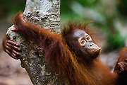 A juvenile orangutan ( Pongo pygmaeus ) lays back on a tree trunk while wrapping his arms behind him around the tree in a relaxed position, Borneo, Indonesia
