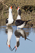 Black Skimmers in the water with reflection engaged in a territorial dispute.(Rynchops niger).Back Bay Reserve,California