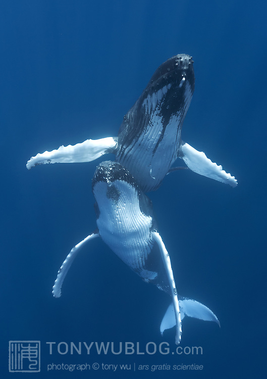Southern hemisphere humpback whales (Megaptera novaeangliae) engaged in courtship, with the male hovering above the female. This pair hovered nearly motionless for an extended period of time, watching people above who were floating on the ocean surface looking down at the whales.