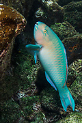 Blue-chin Parrotfish (Scarus ghobban)<br /> North Seymour Island<br /> Galapagos<br /> Pacific Ocean<br /> Ecuador, South America