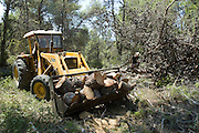 Israel, Carmel Forest, Foresters working in a natural forest, cutting down trees to thin out the forest