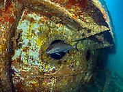 Greater Amber Jack, USCGC Spar Shipwreck<br /> NC