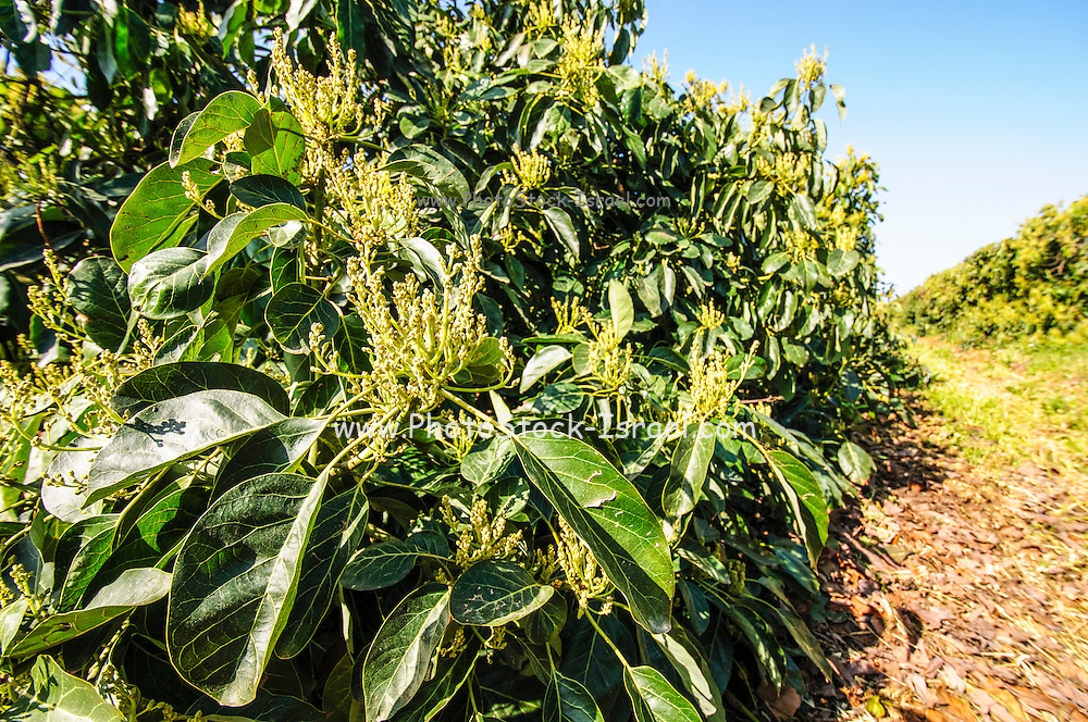 Avocado Plantation. Photographed in Israel in March