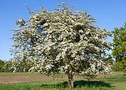 White blossom of hawthorn tree in flower against blue sky, Shottisham, Suffolk, England, UK