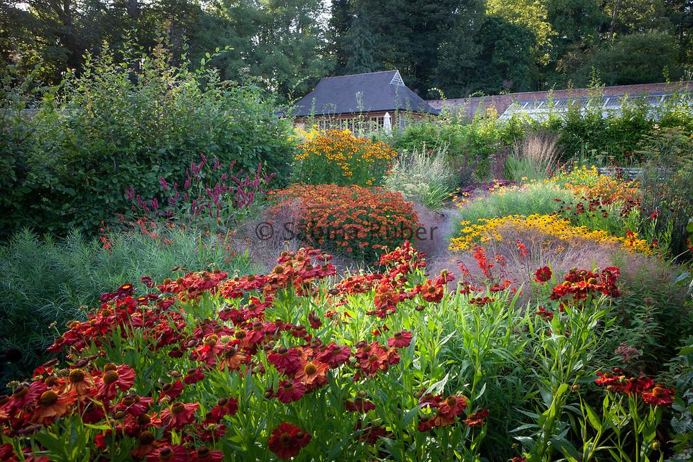 Wildegoose Nursery, Shropshire - Helenium 'Indian Summer', 'Little Orange' and 'Rauchtopas' with Rudbeckia fulgida 'Goldsturm'