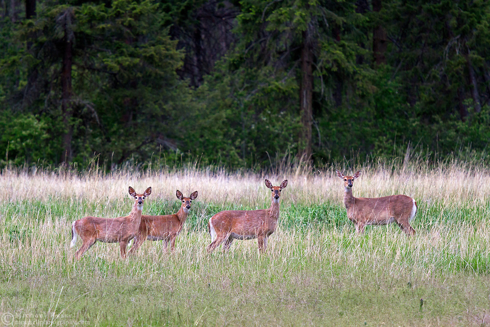 A Herd of Columbian Black-tailed Deer (Odocoileus hemionus columbianus) stand in a field at Ellison Provincial Park near Vernon, British Columbia, Canada