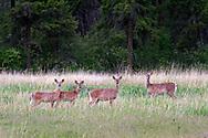 A Herd of Columbian Black-tailed Deer (Odocoileus hemionus columbianus) stand in a field at Ellison Provincial Park near Vernon, British Columbia, Canada