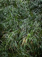 Grass growing along the edge of a lake. Mountain Lake, in Moran State Park, Orcas Island, Washington.
