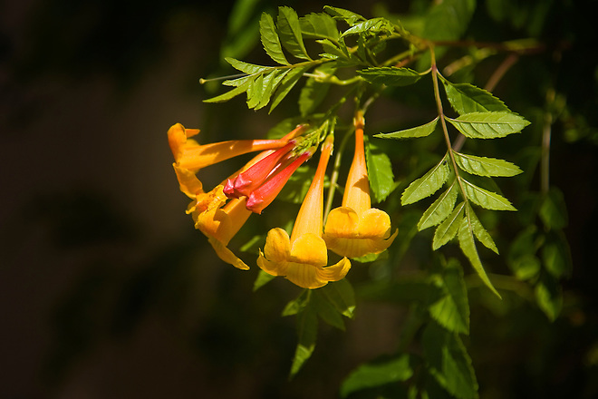 Dee Peden of Palm Desert, Calif. in Riverside County planted a variety of drought-tolerant plants at her home in the Coachella Valley.  One of the plants is the trumpet vine (Campsis radicans), also known as trumpet creeper, is a fast-growing perennial vine. The beautiful tubular flowers range in color from yellow, orange and red and bloom during the summer and fall. It's also known for attracting hummingbirds to your garden. A trellis, fence, or pole will provide additional support for the vine that can grow up to 30 to 40 feet in one season. The plant thrives in direct and partial sun and should planted some distance from your home because of its massive root system. Photo taken May 26, 2010.  Dale Kolke / The California Department of Water Resources, FOR EDITORIAL USE ONLY