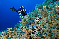 Diver observes a Hawksbill Turtle feeding on soft corals